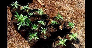 MP ajuíza ação contra servidor suspeito de plantar maconha em viveiro público