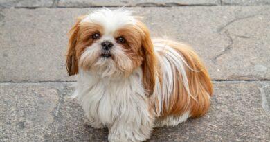 Homem é preso acusado de furtar cachorro da raça Shih-tzu