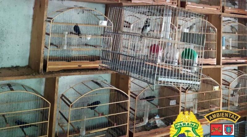 Batalhão Ambiental resgata 116 pássaros em cativeiro ilegal