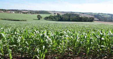 Clima seco coloca em risco produção do milho safrinha