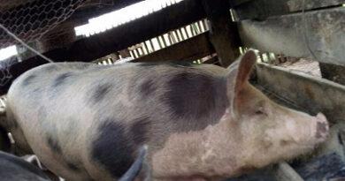Ladrão furta porco em sitio de Rosário do Ivaí